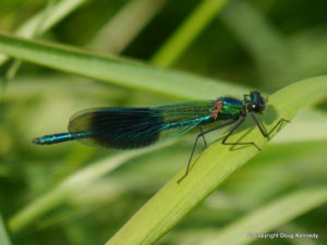 Banded Demoiselle male 2015
