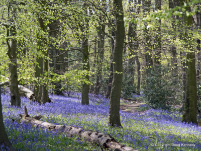 Bluebells Aston Woods 01