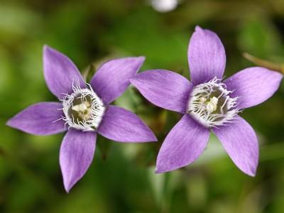 Chiltern Gentian flowers ed