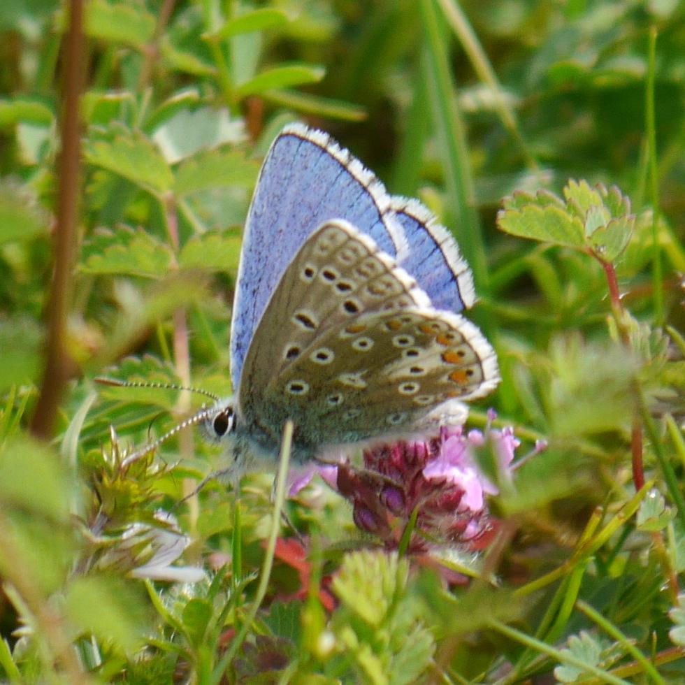 Common Blue AR