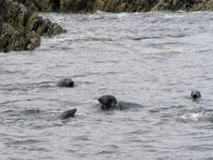 Seals Swimming at Blasket