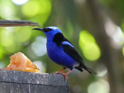 Shining Honeycreeper m 1