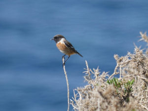 Stonechat on Kerry coast