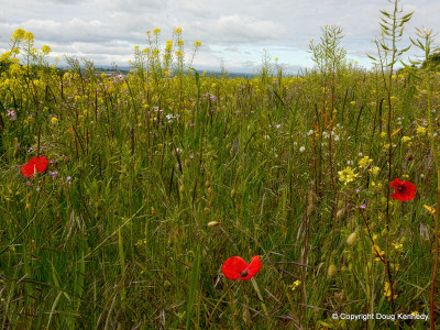 Wildflowers at Consibrough 2 edited